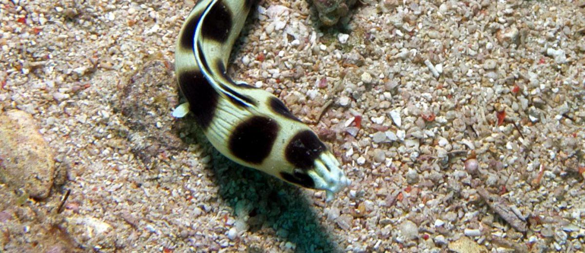 Eels Ocellated Snake Eel, Myrichthys maculosus