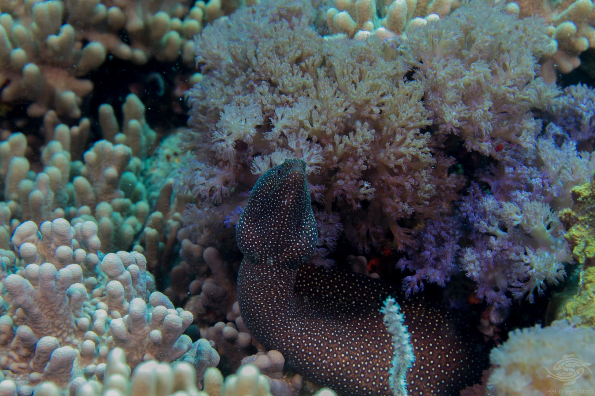 white-mouth moray eel (Caesio xanthonota)  also known as the comet moray eel or  guinea fowl moray eel
