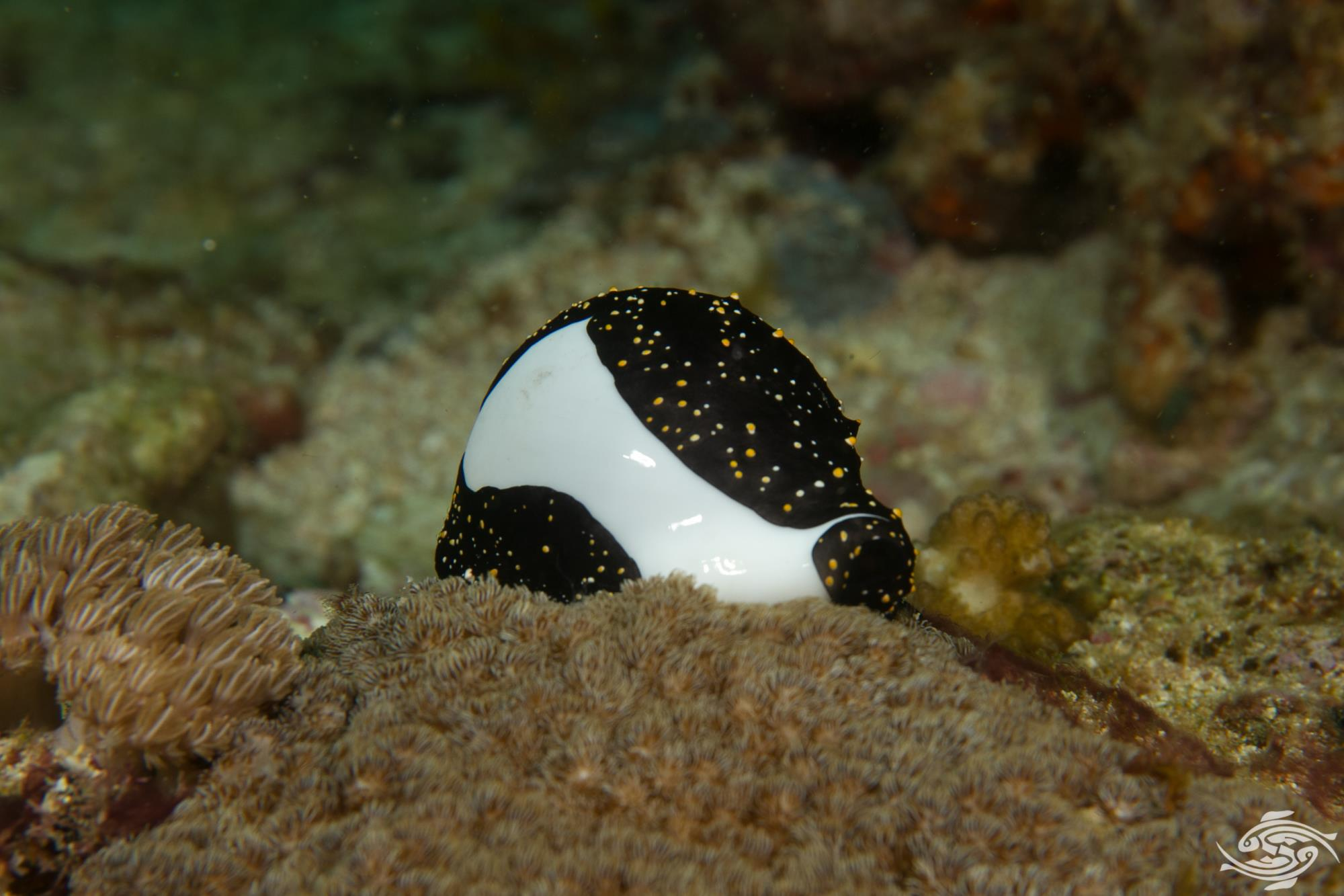 Ovula ovum, common name the common egg cowrie