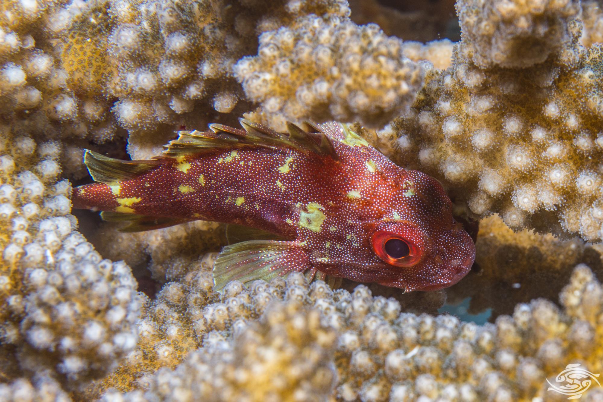 Yellow spotted scorpionfish, Sebastapistes cyanostigma