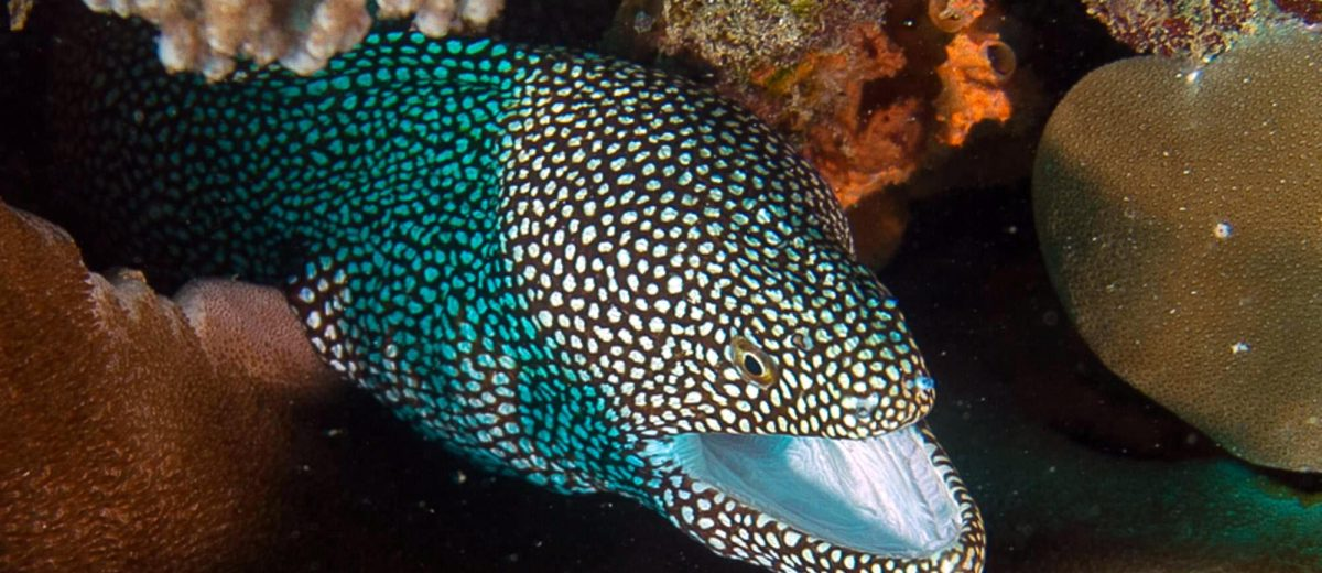 Eels white-mouth moray eel (Caesio xanthonota)