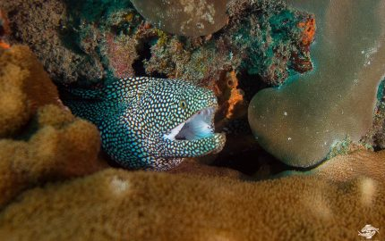 white-mouth moray eel (Caesio xanthonota)