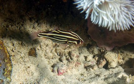 six-lined soapfish (Grammistes sexlineatus)