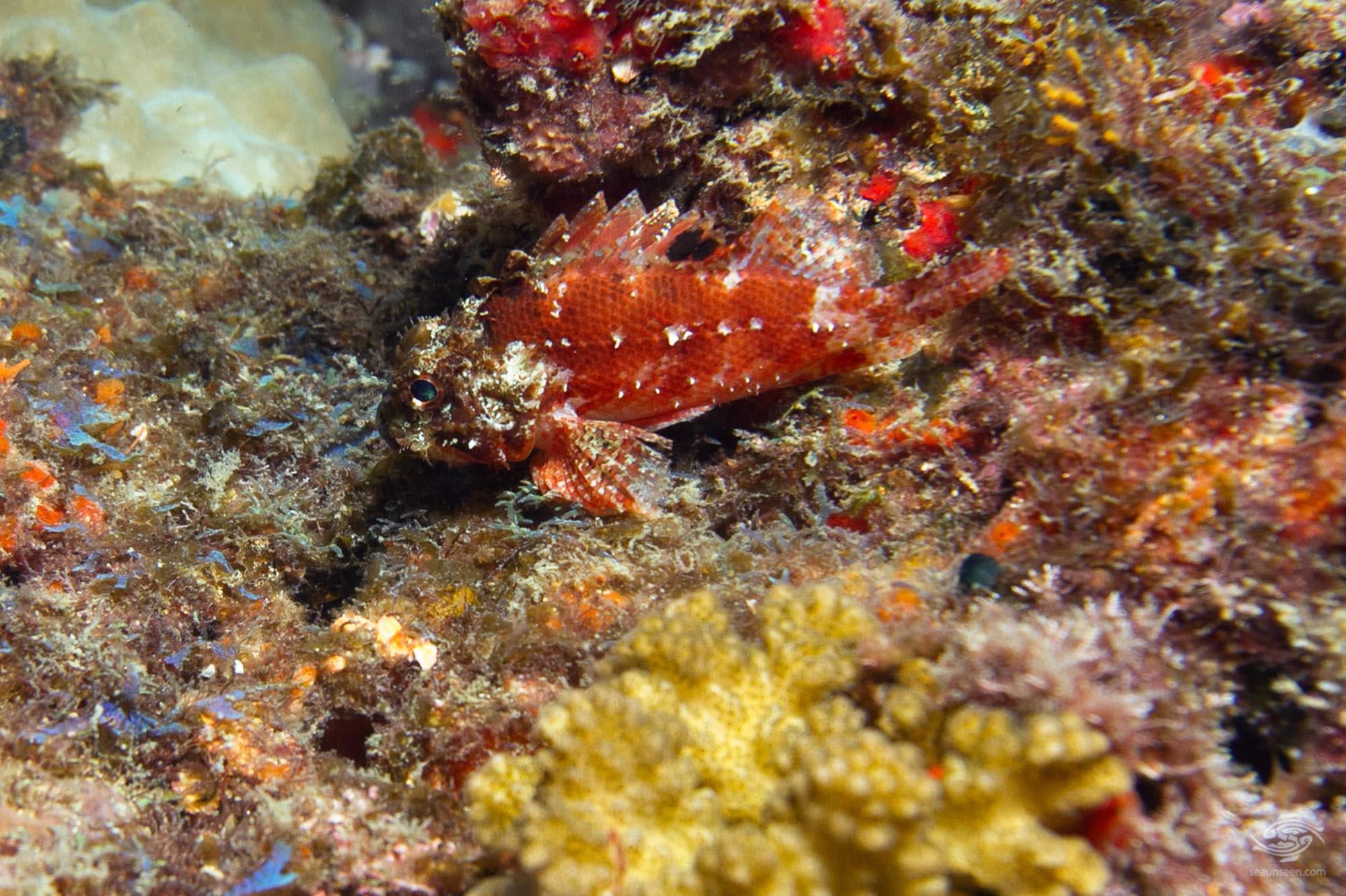 Juvenile tasseled scorpionfish