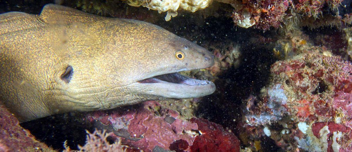 Eels giant moray (Gymnothorax javanicus)
