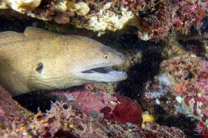 Eels giant moray (Gymnothorax javanicus)