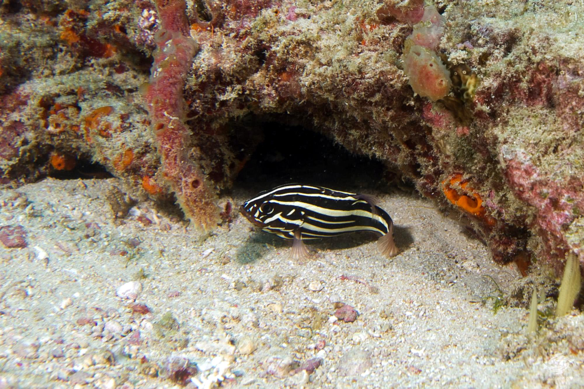 six-lined soapfish (Grammistes sexlineatus)