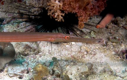 trumpetfish (Aulostomus chinensis)