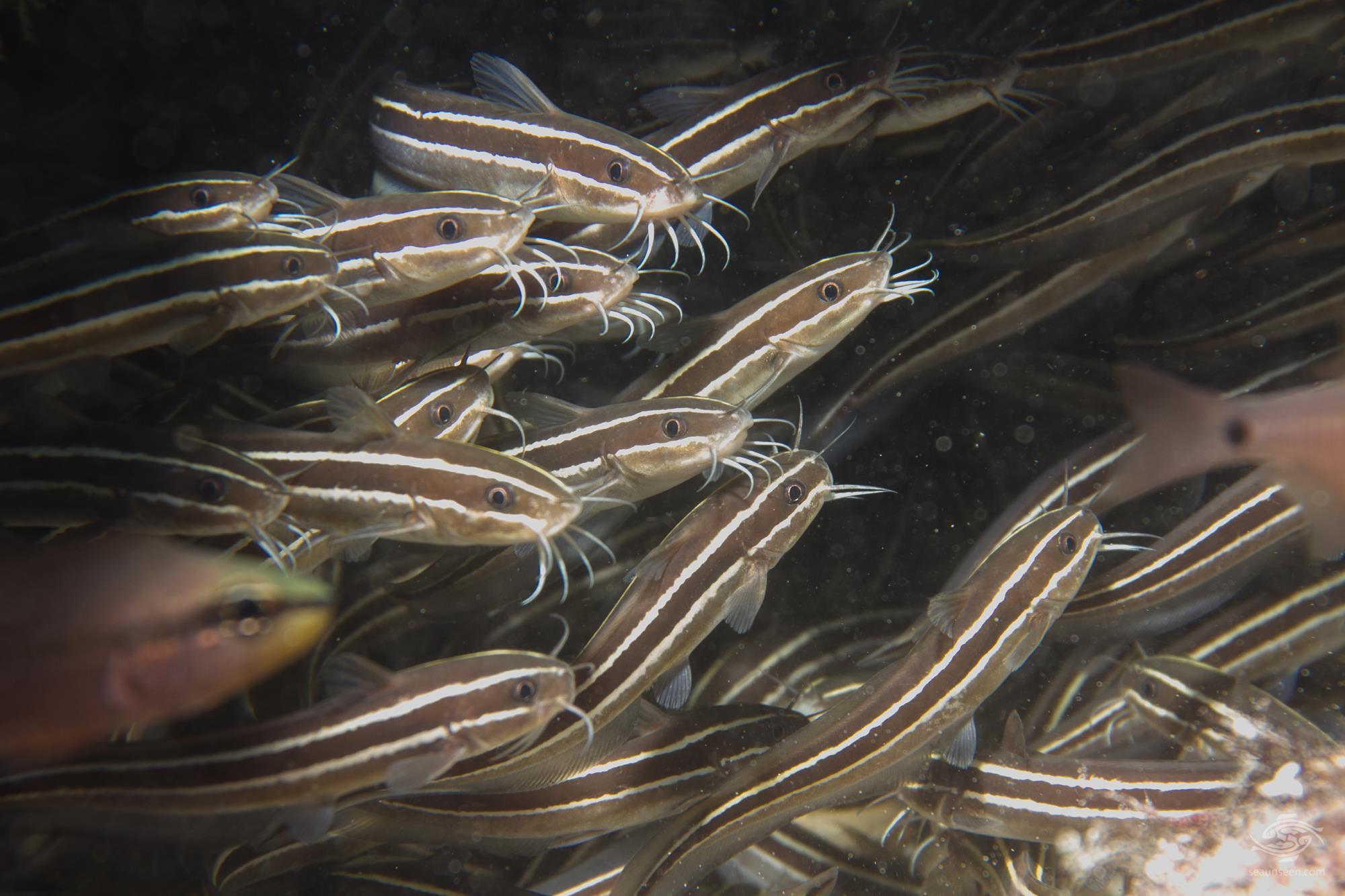 Striped eel catfish (Plotosus lineatus)