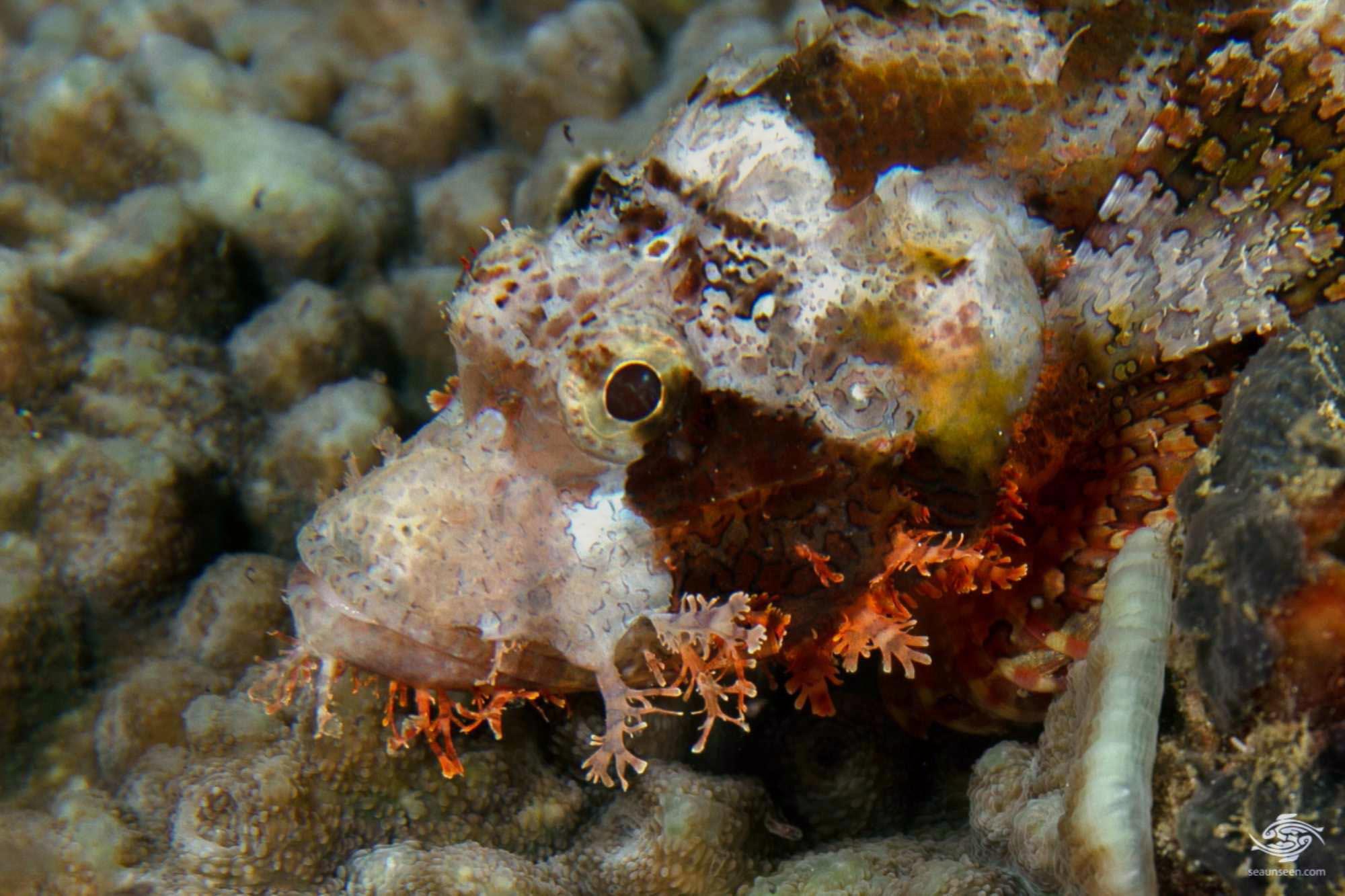 tasseled scorpionfish (Scorpaenopsis oxycephala)