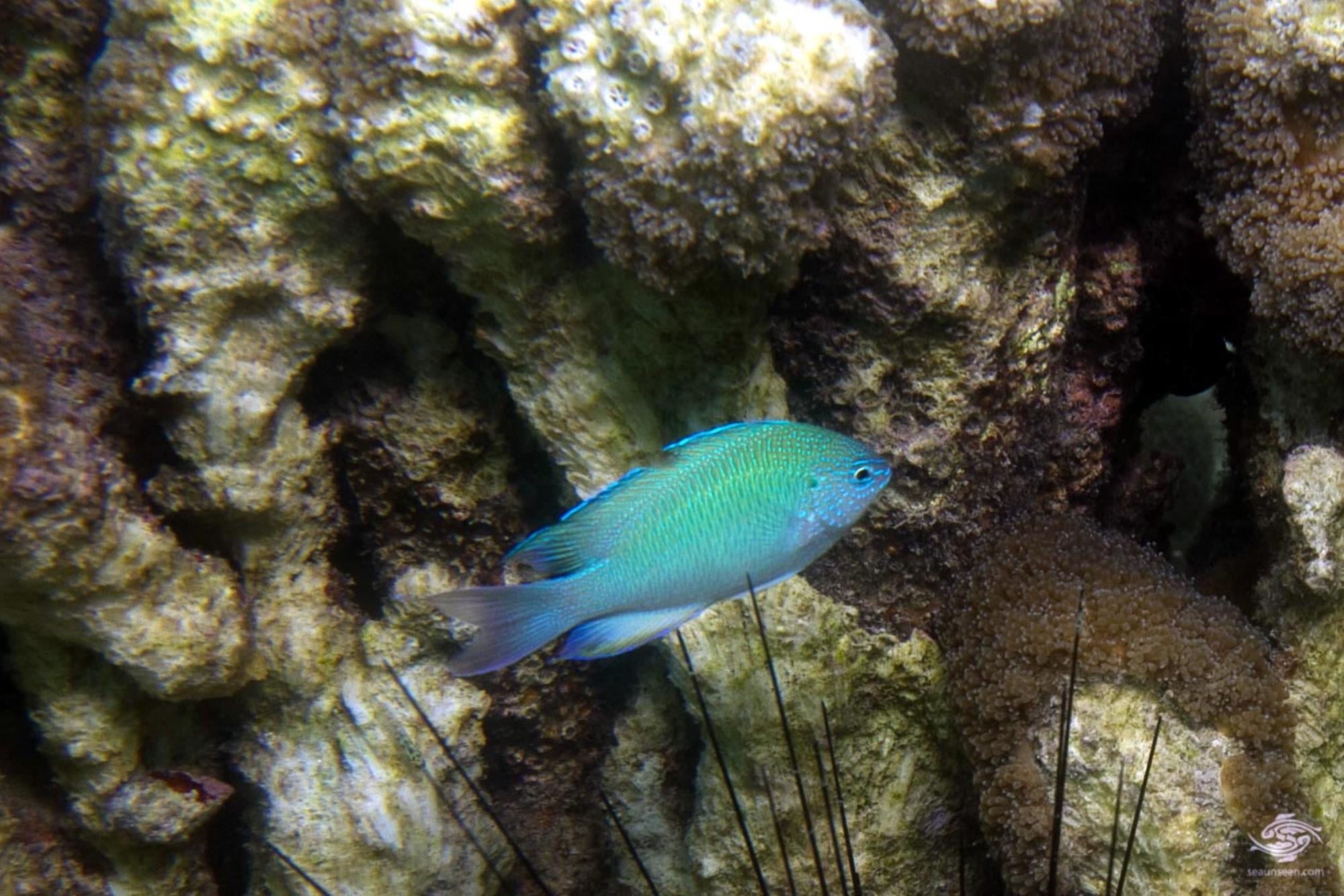sapphiredamselfish Pomacentrus pavo