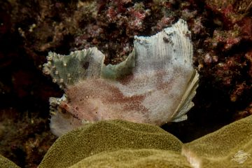 Leaf scorpionfish Taenianotus triacanthus or Paperfish