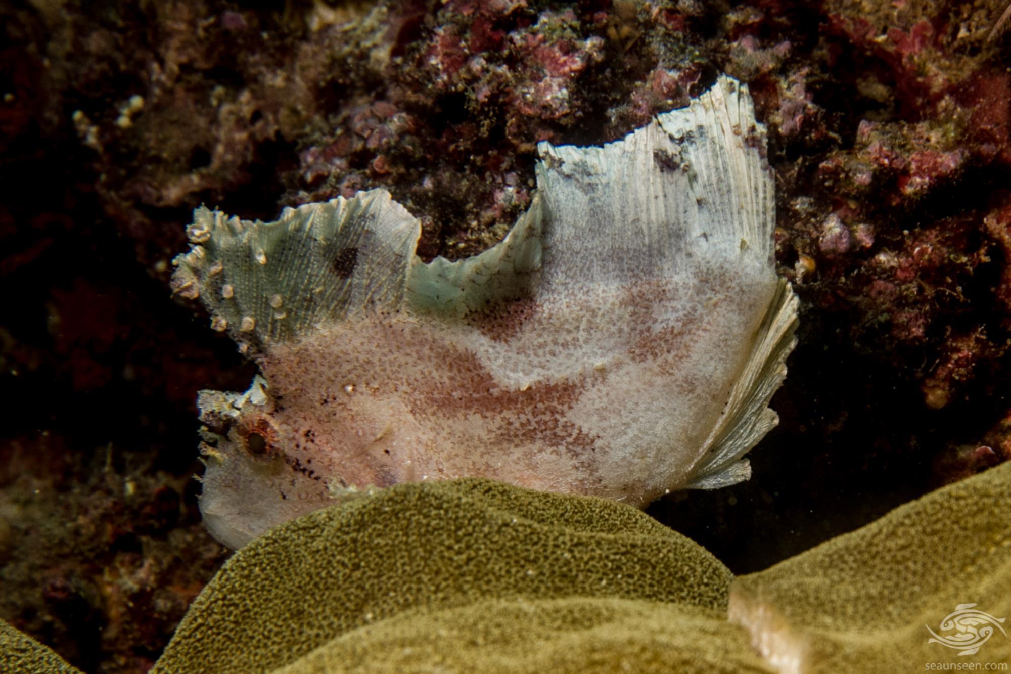 Leaf scorpionfish Taenianotus triacanthus or Paperfish