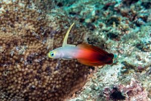 Nemateleotris magnifica, the Fire Goby, Fire Fish, Fire Dartfish, or Red Fire Goby
