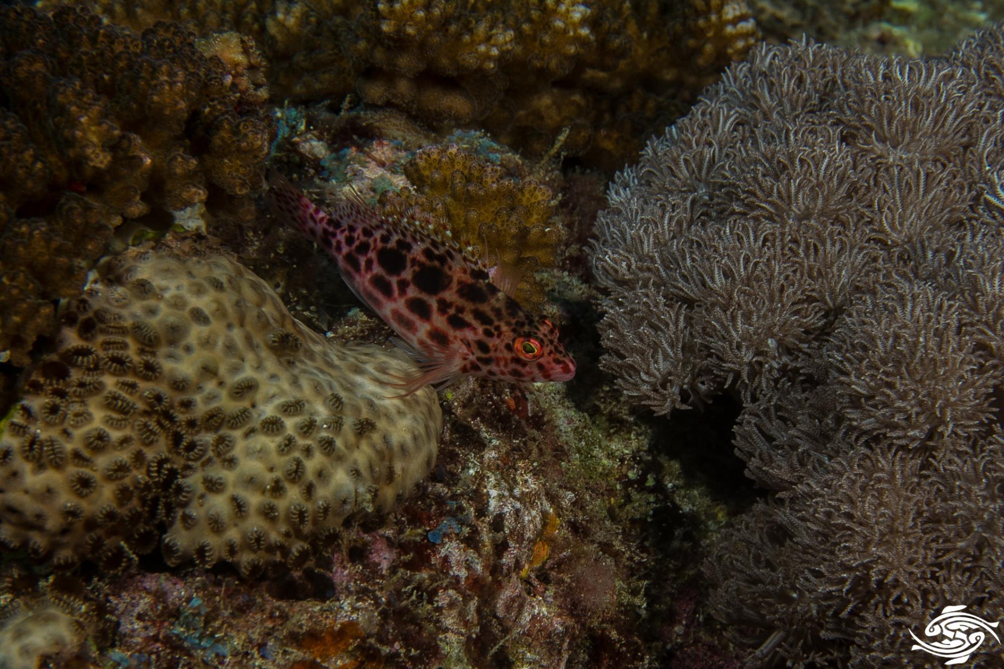 Spotted HawkfishCirrhitichthys