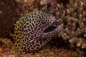 laced moray (Gymnothorax favagineus) also known as the leopard moray,