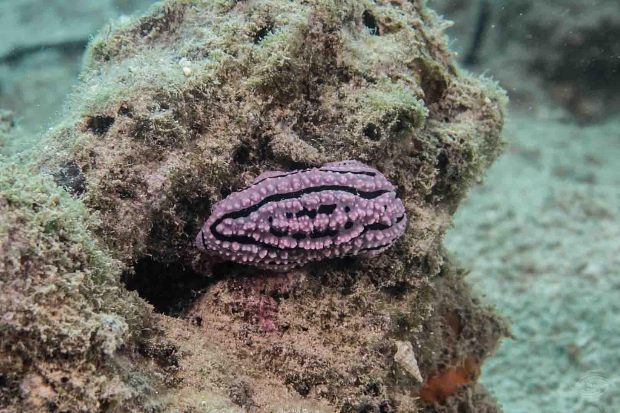 Phyllidiella zeylanica