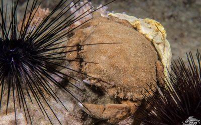 Cryptic Sponge crab Cryptodromiopsis spongiosa