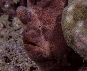Antennarius commerson Giant frogfish , Commerson's Frogfish
