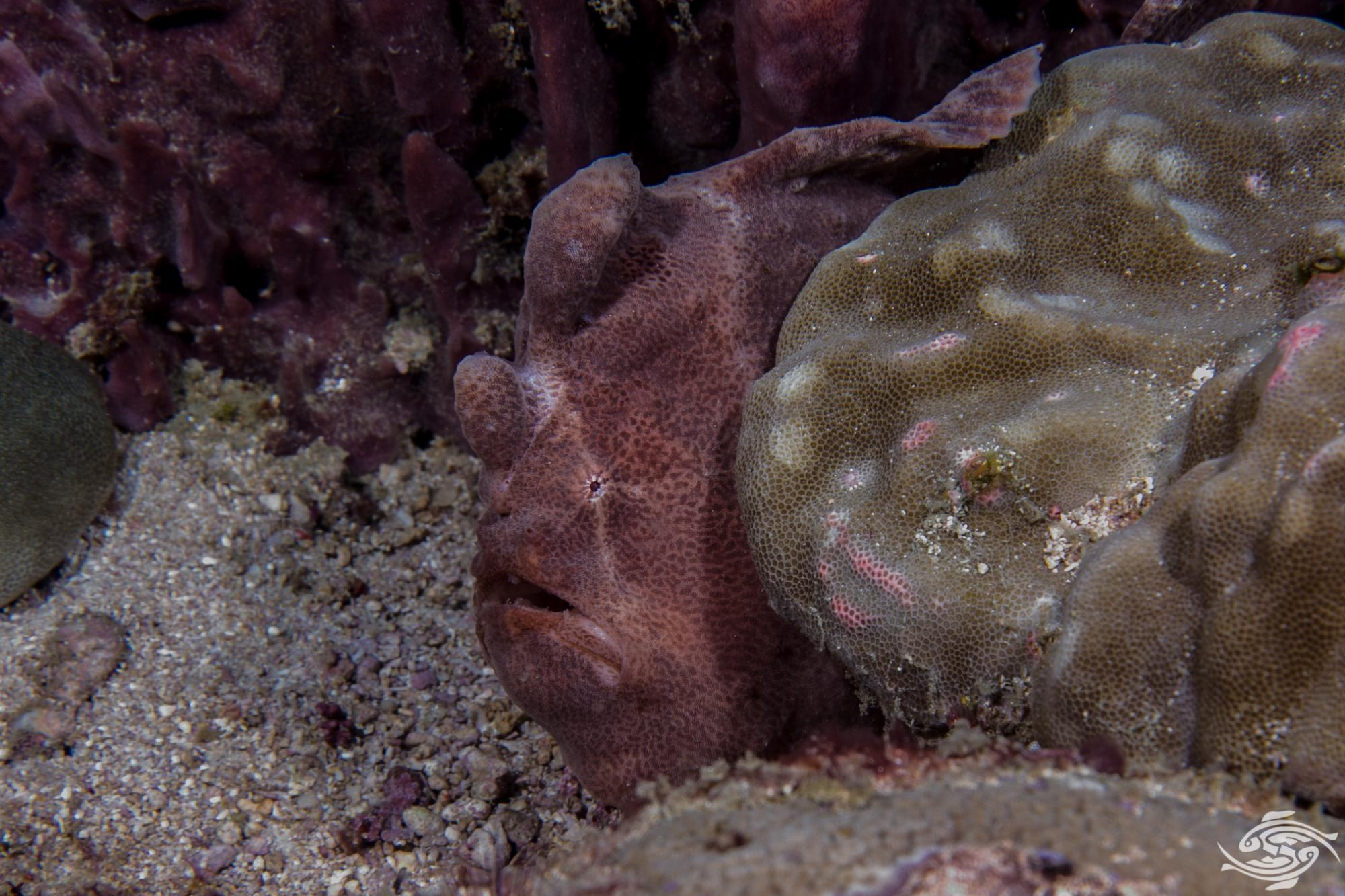 Antennarius commerson Giant frogfish , Commerson's