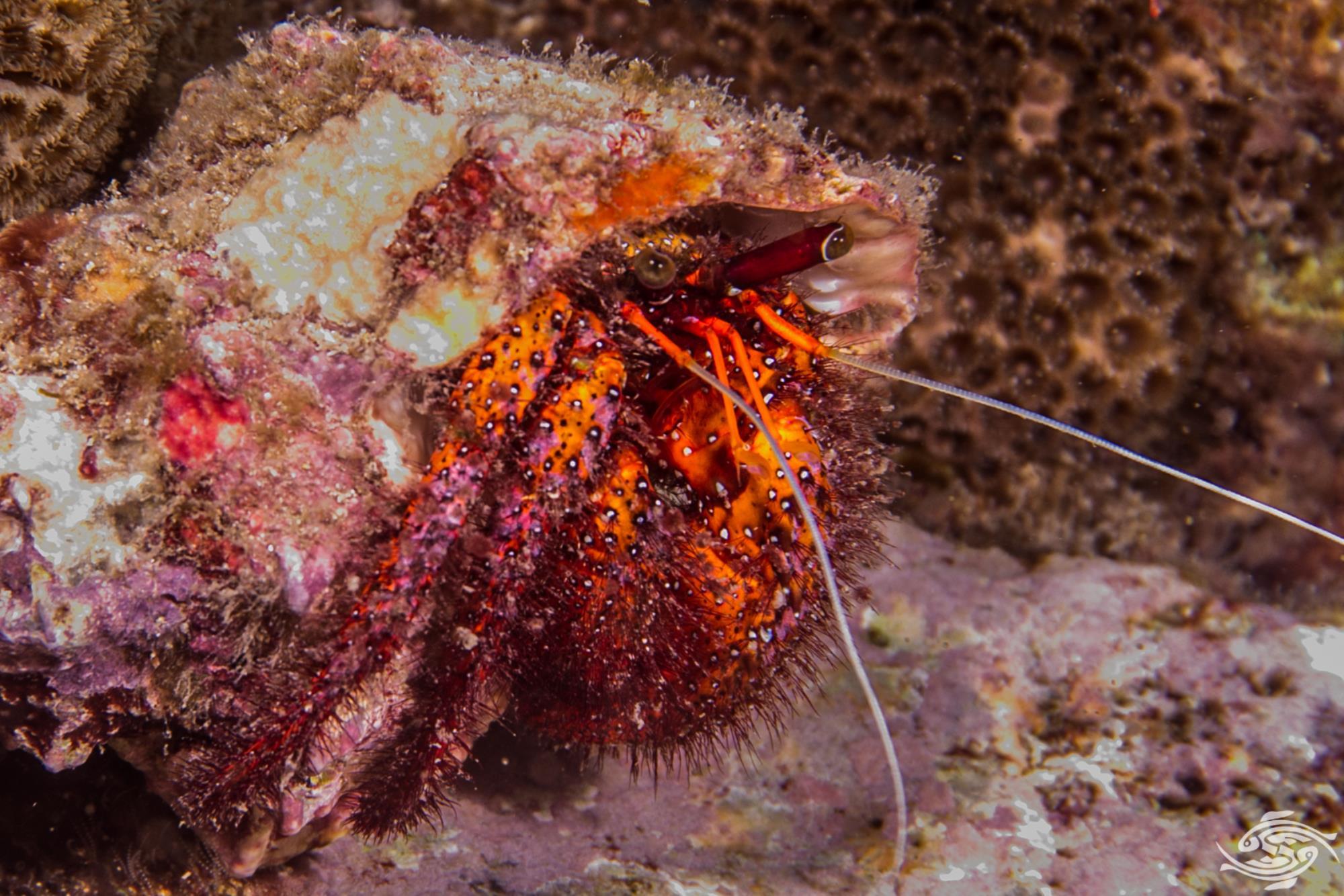 Dardanus megistos Common Name: Giant spotted hermit crab