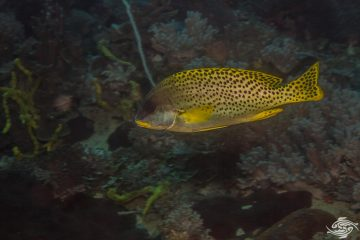 Blackspotted sweetlips (Plectorhinchus gaterinus), also known as the Blackspotted Rubberlip