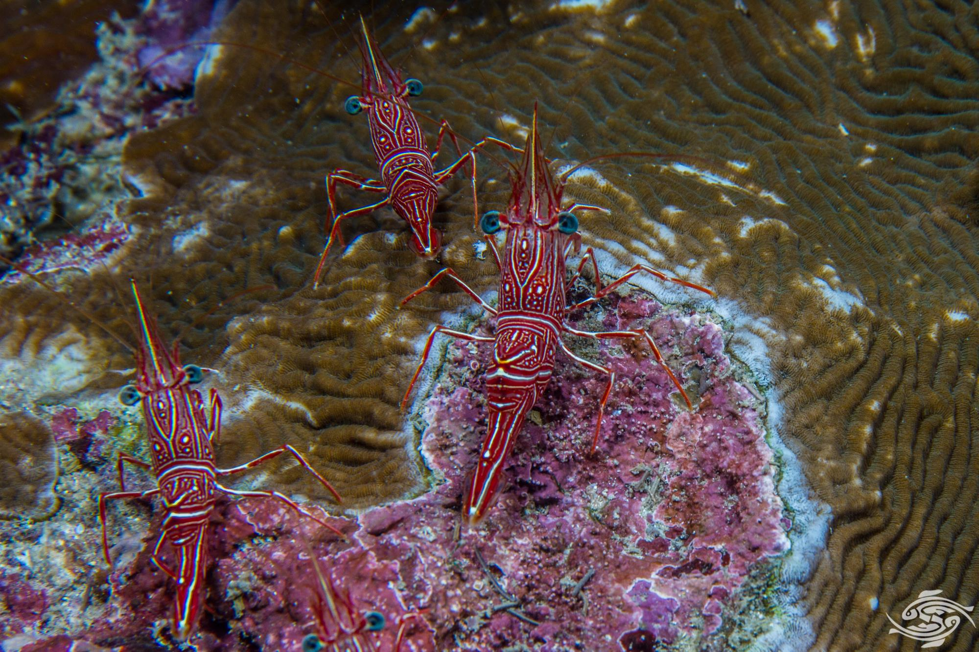 Durban Dancing Shrimp (Rhynchocinetes durbanensis)