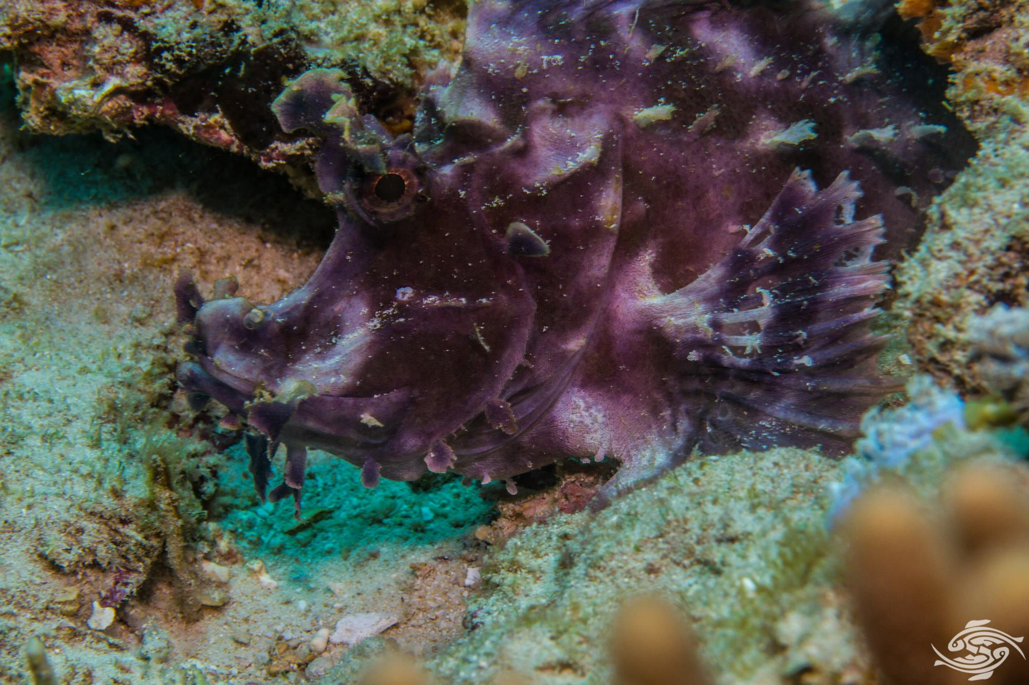 Paddle-flap scorpionfish or Eschmeyer's scorpionfish Rhinopias eschmeyeri