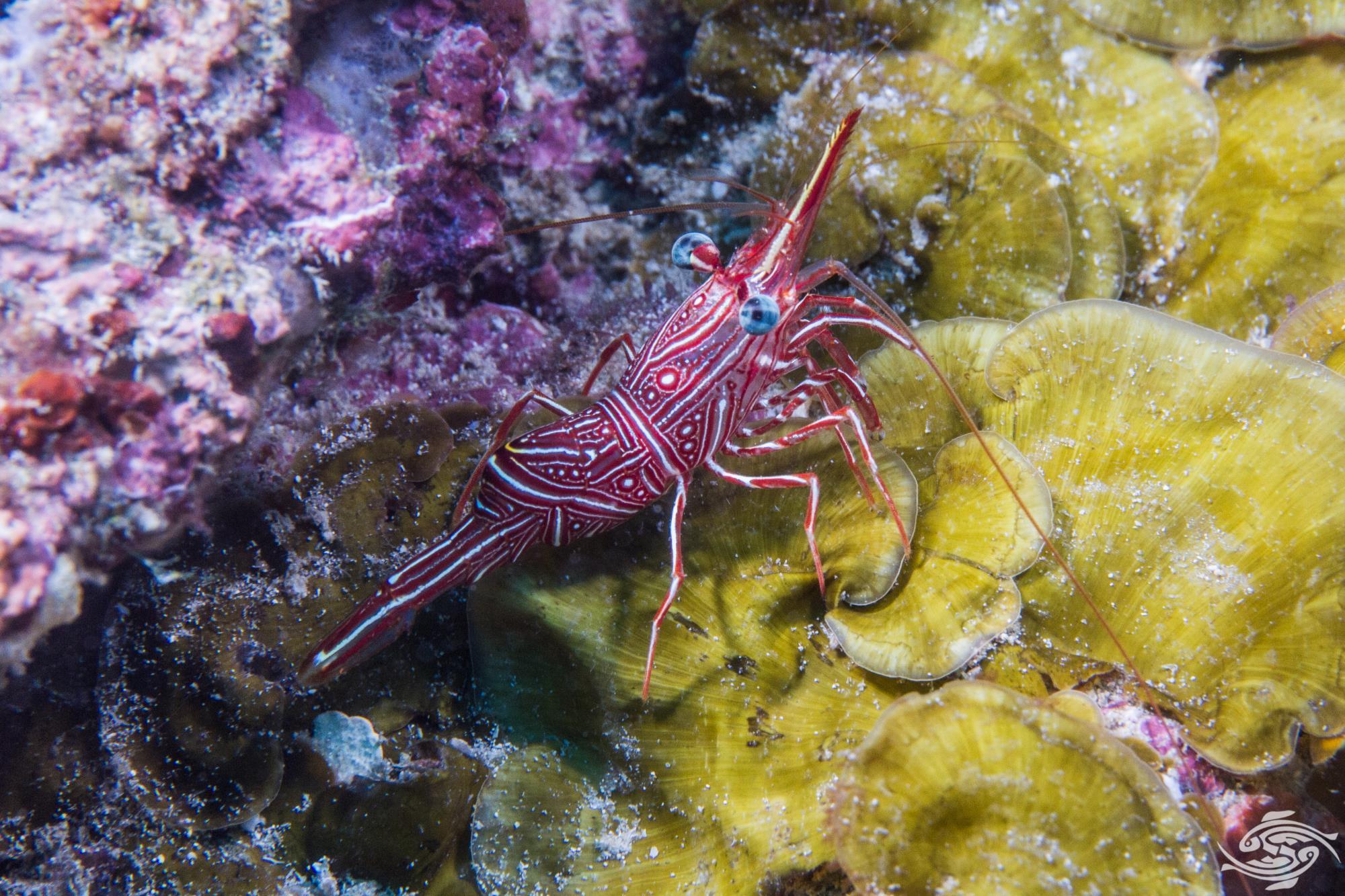 Durban Dancing Shrimp - Rhynchocinetes durbanensis