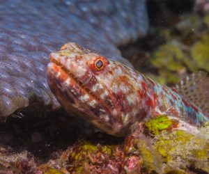 Variegated Lizardfish also known as the Reef or Red Banded Lizzardfish, Synodus variegatus
