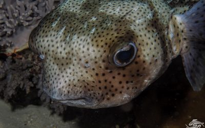 the longspined porcupinefish Diodon holocanthus,