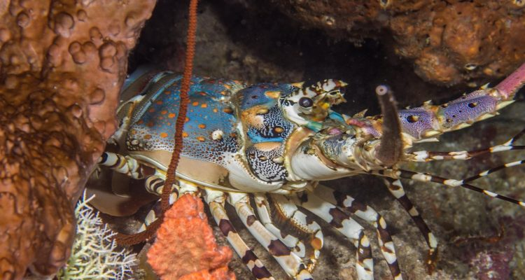 ornate spiny lobster Panulirus ornatus