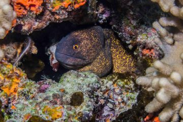 yellow edged moray eel (Gymnothorax flavimarginatus)