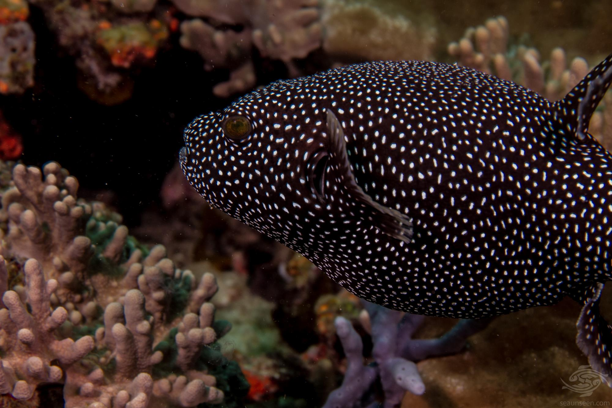 Arothron meleagris, guineafowl pufferfish or golden pufferfish