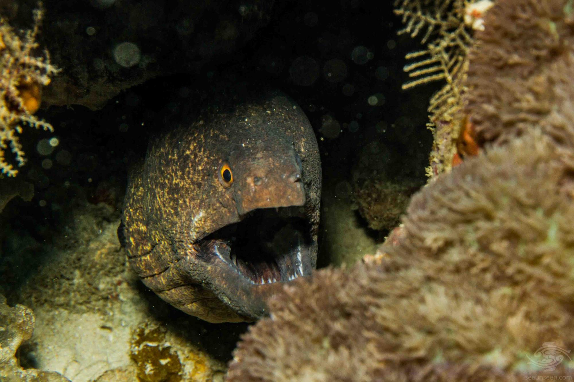 yellow-edged moray eel (Gymnothorax flavimarginatus)