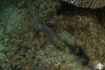 Tiger Cardinalfish, Cheilodipterus macrodon