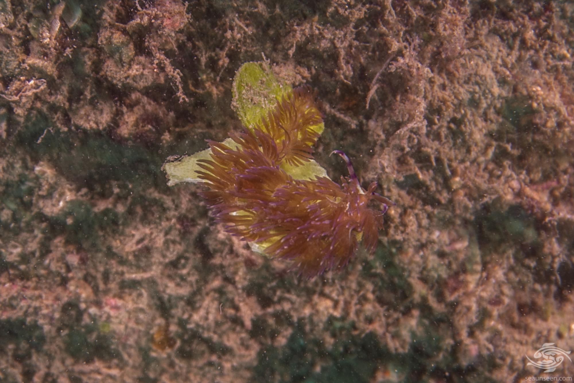 sea dragon pteraeolidia ianthina