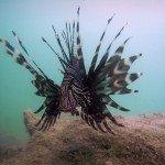 Lionfish Photos 1