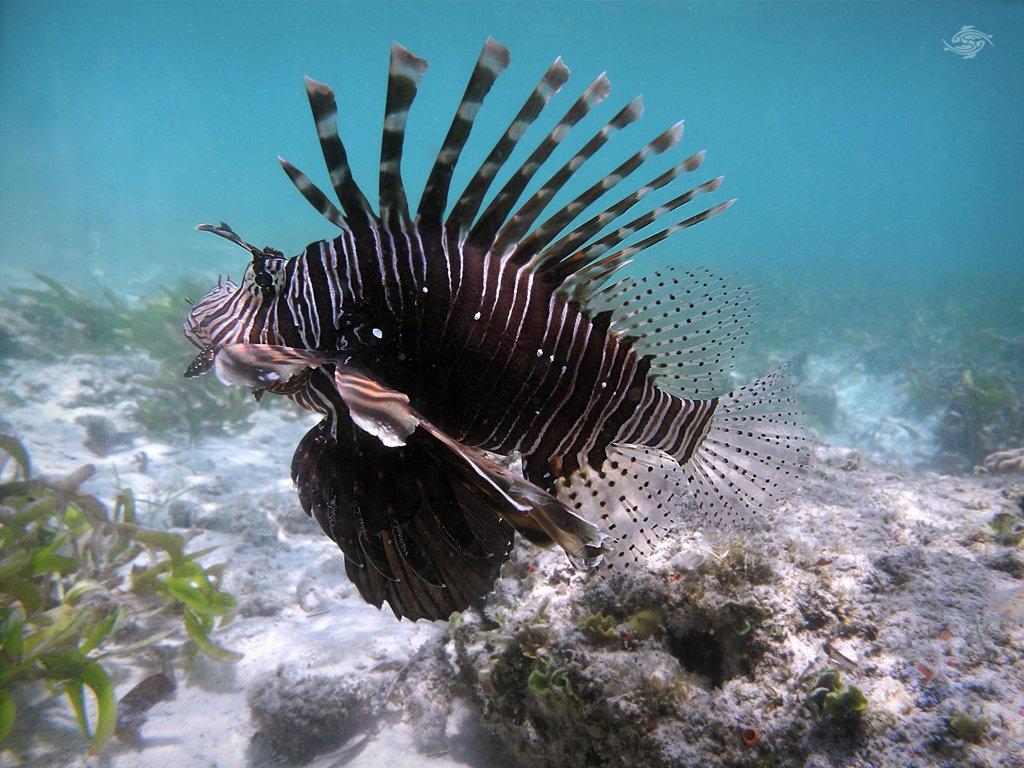 Lionfish Photos 4