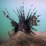 Lionfish Photos 2