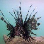 Lionfish Photos 3