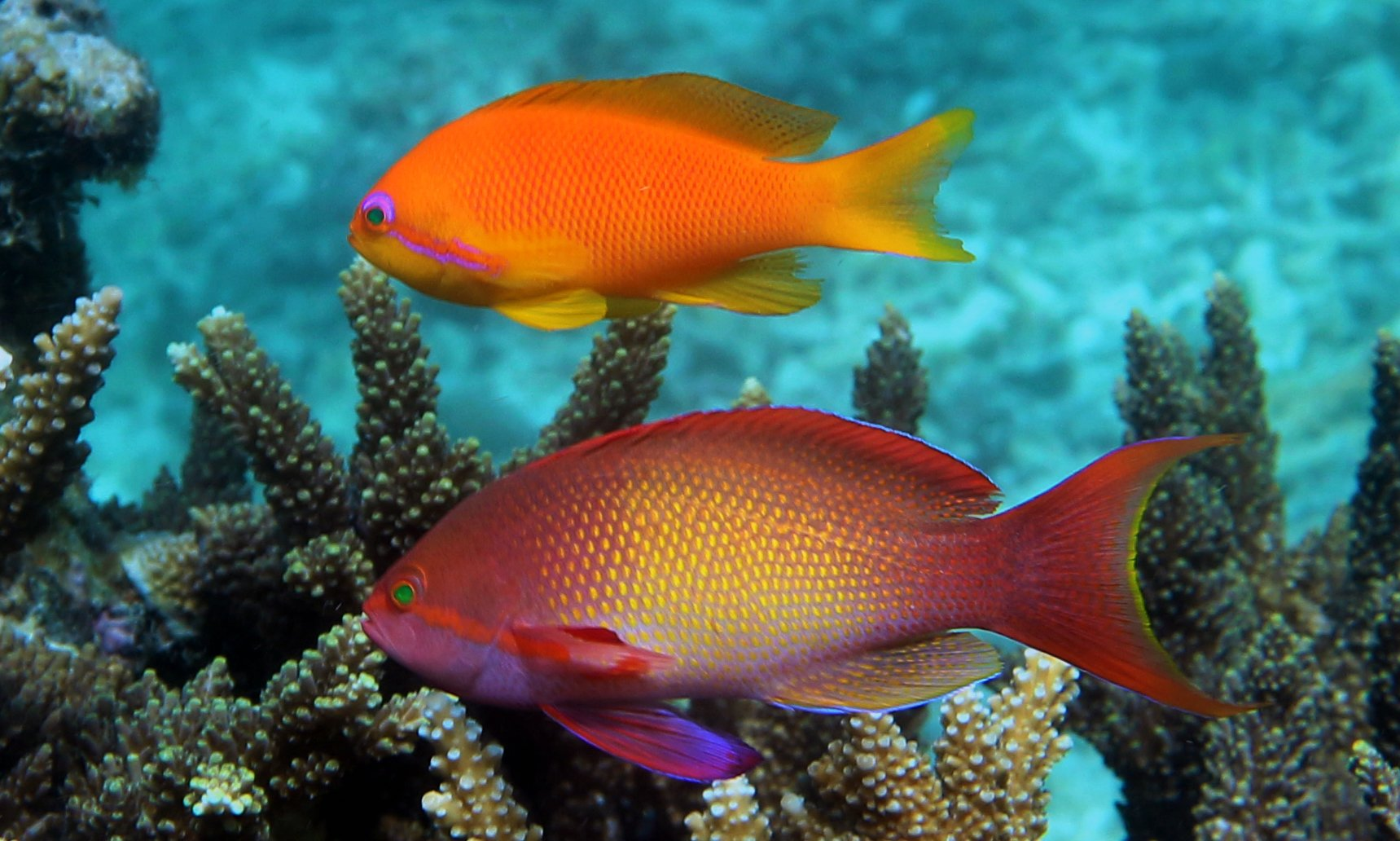 Sea Goldies (Pseudanthias squamipinnis) also known as the Wreckfish, Lyretail Coralfish, Lyretail Anthias Basslets, Sea Bass, Orange Basslet, Orange Sea Perch, Red Coral Perch, Jewel Fairy Basslet,and Scalefin Anthias