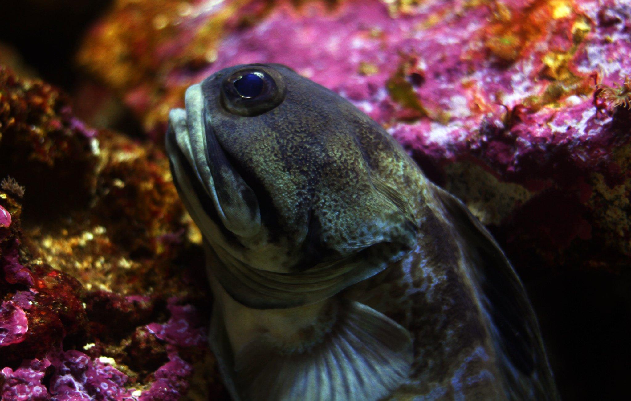 Giant Jawfish