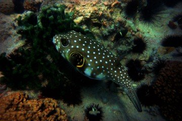 pufferfish wallpaper