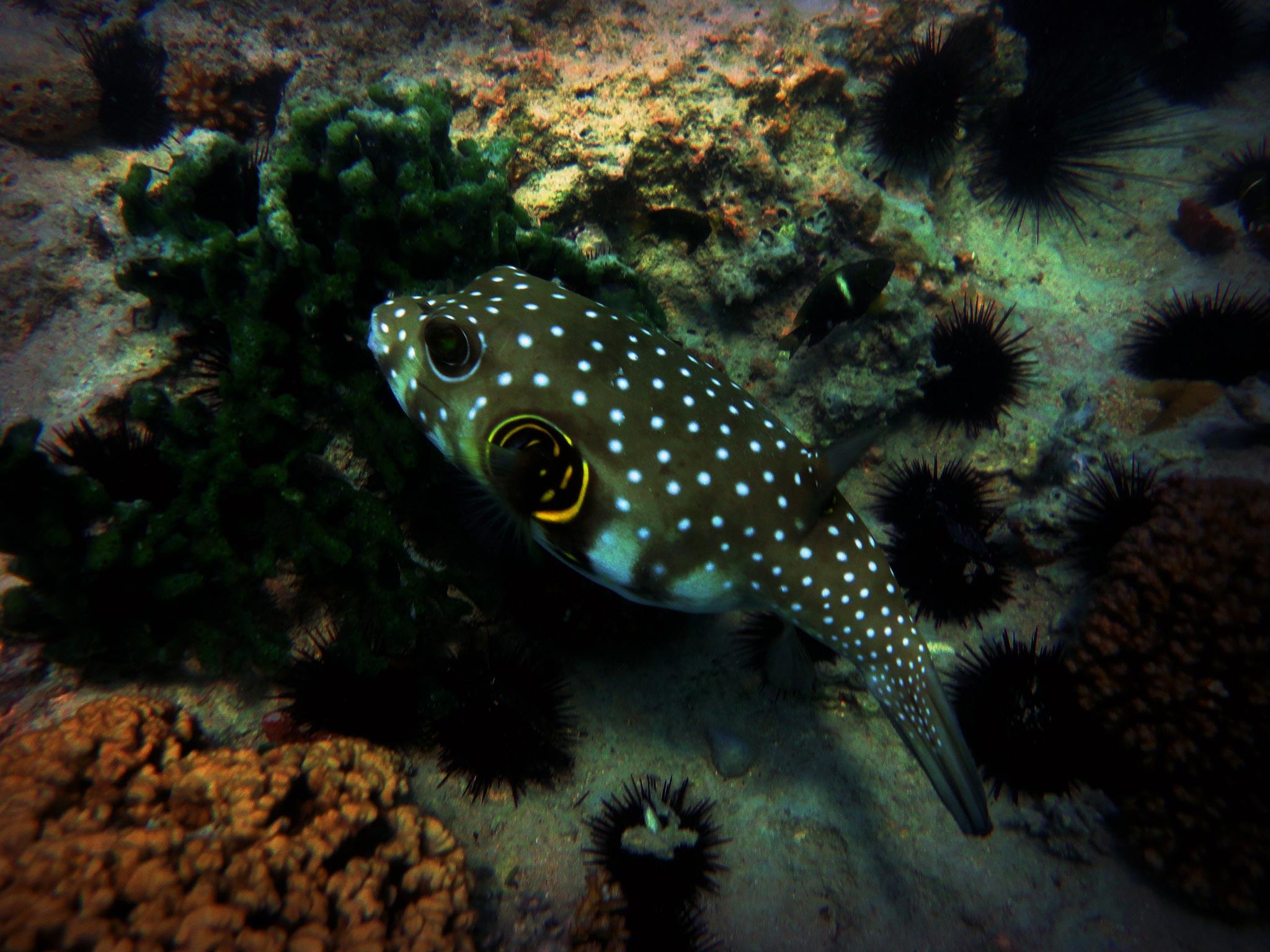 Pufferfish seaunseen for Puffer fish habitat