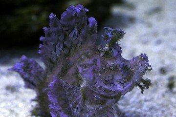 Popeyed Scorpionfish