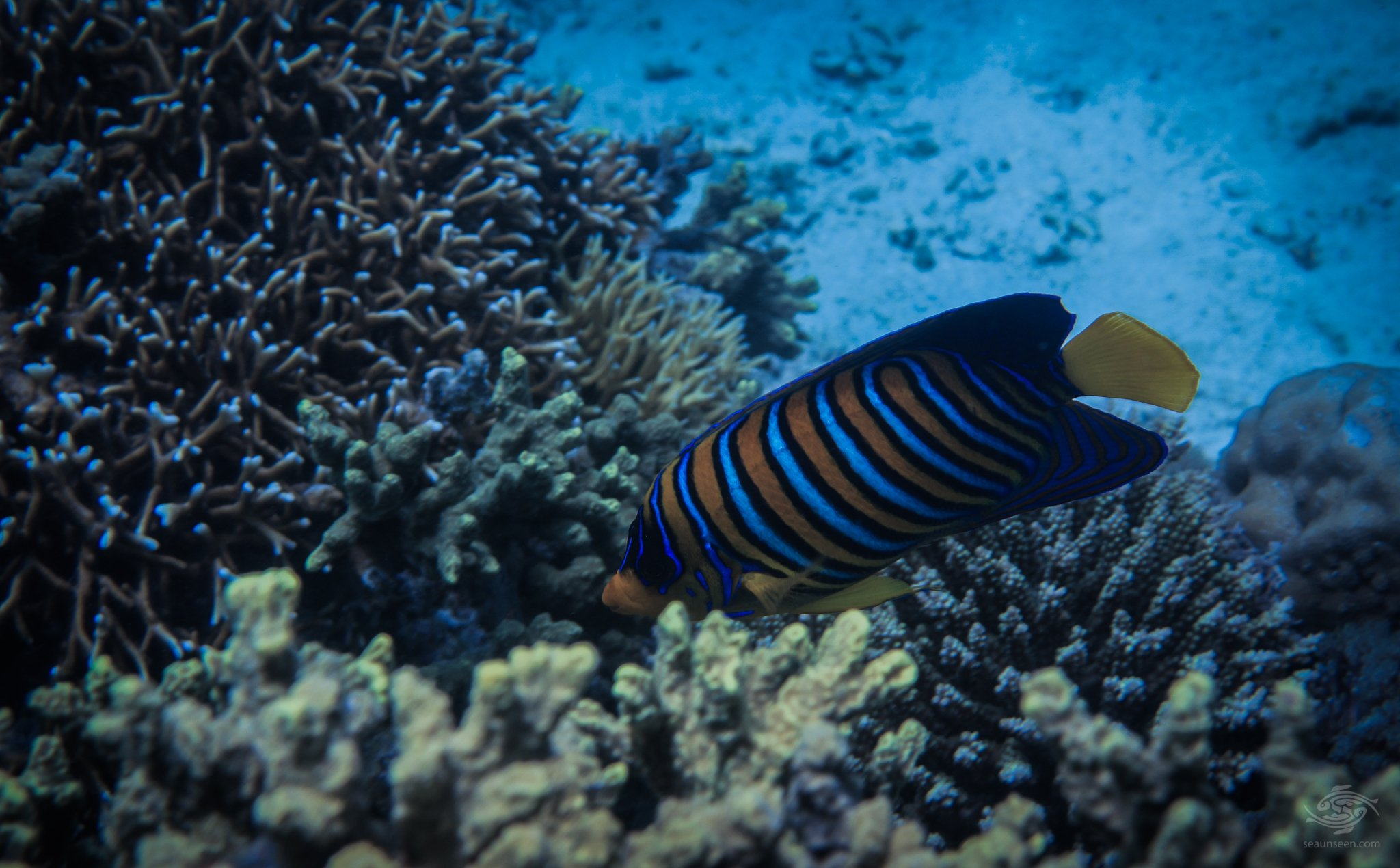 Regal Angelfish or Royal Angelfish Pygoplites diacanthus