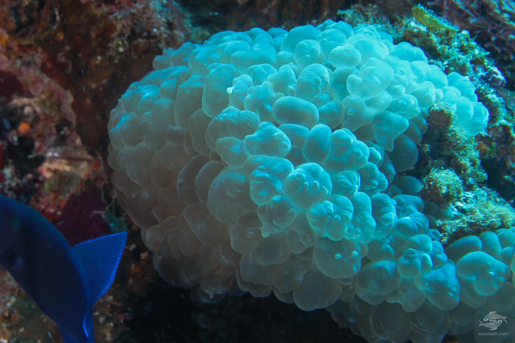 Bubble coral Plerogyra sinuosa on Mafia island Tanzania