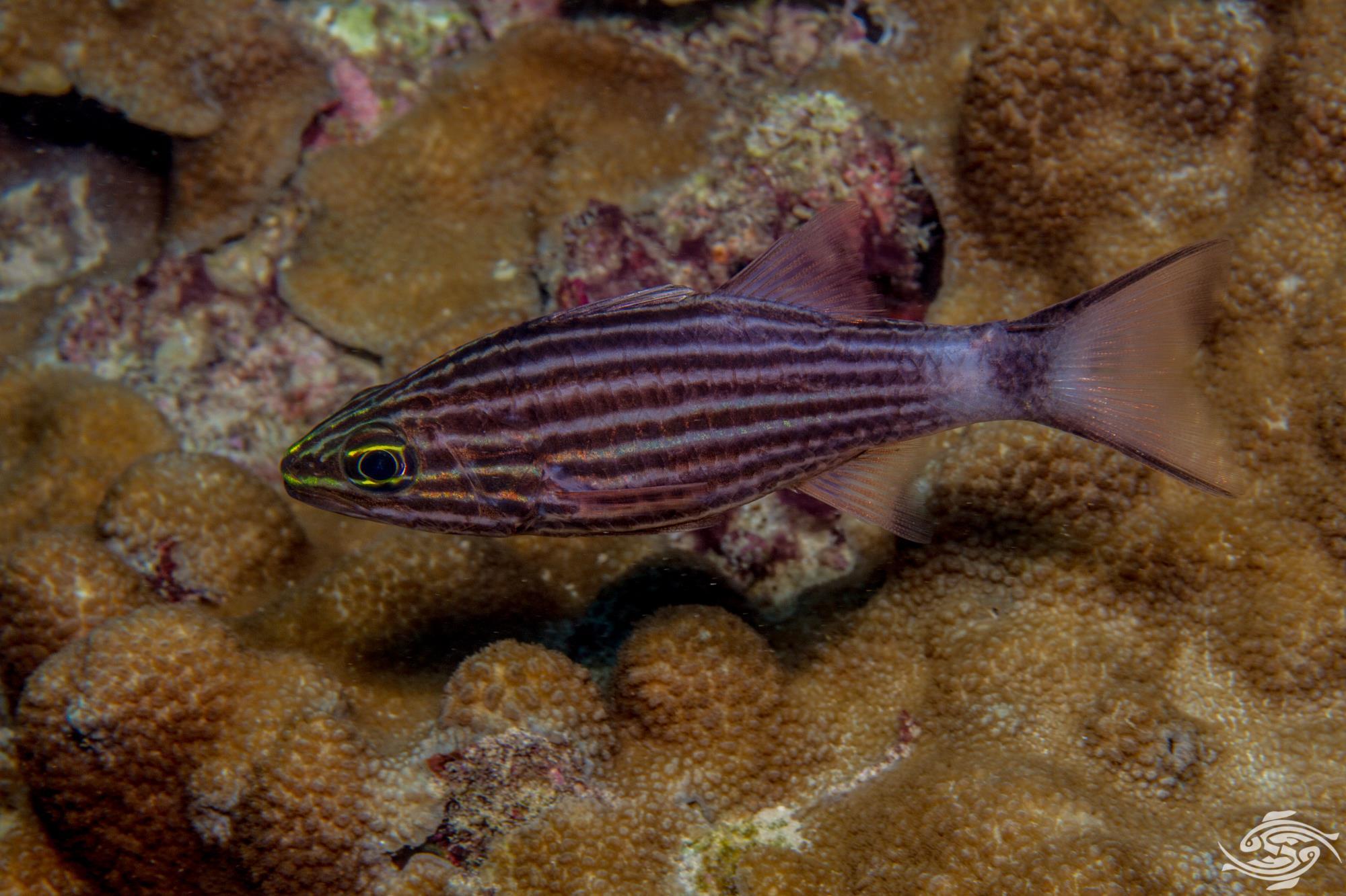 Cheilodipterus macrodon 3