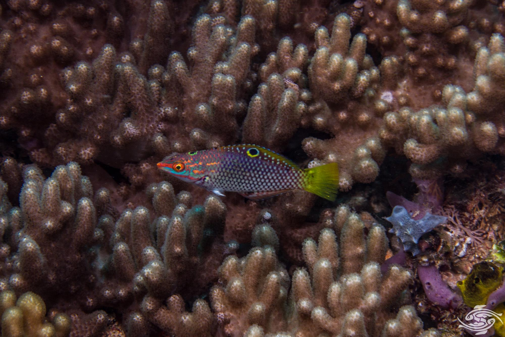checkerboard wrasse (Halichoeres hortulanus) also known as the marble or hortulanus wrasse